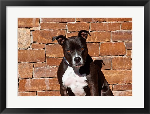 Framed American Staffordshire Terrier dog Print