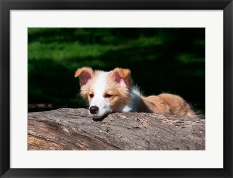 Framed Border Collie puppy dog looking over a log Print