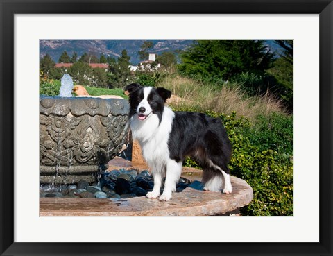 Framed Border Collie dog standing on a fountain Print