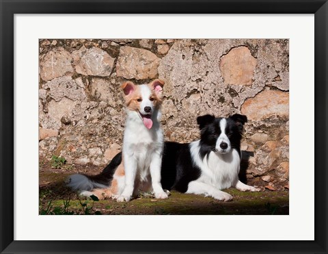 Framed pair of Border Collie dogs Print