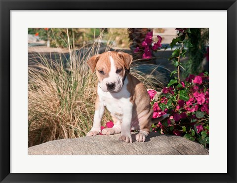 Framed American Pitt Bull Terrier puppy dog Print