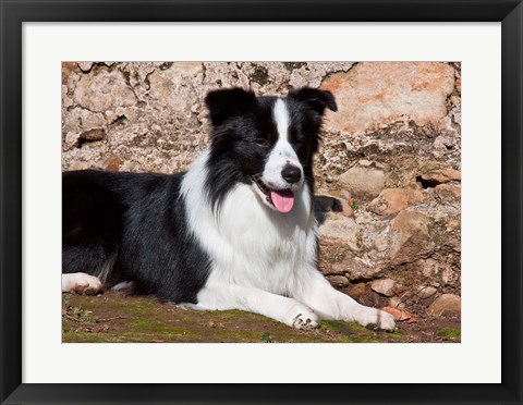 Framed Border Collie dog next to a rock wall Print