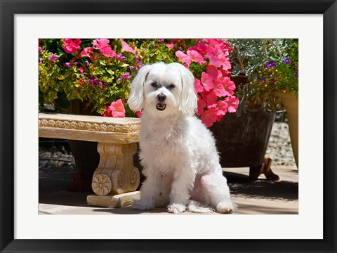 Framed USA, California Maltese sitting next to garden bench with flowers Print