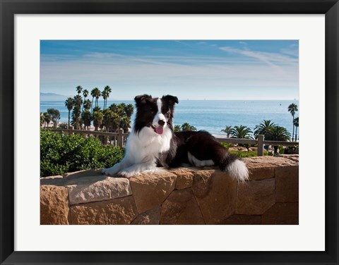 Framed Border Collie dog resting on a wall Print