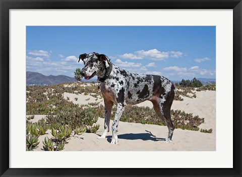 Framed Great Dane standing in sand at the Ventura Beach, California Print