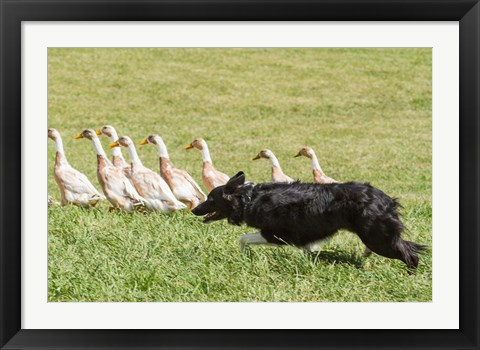 Framed Purebred Border Collie dog herding ducks Print