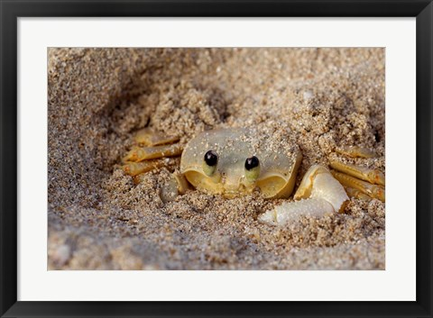 Framed Emerald Beach Sand Crab, Lindergh Bay, St Thomas, US Virgin Islands, Caribbean Print