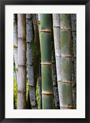 Framed Bamboo, Jardin De Balata, Martinique, French Antilles, West Indies Print