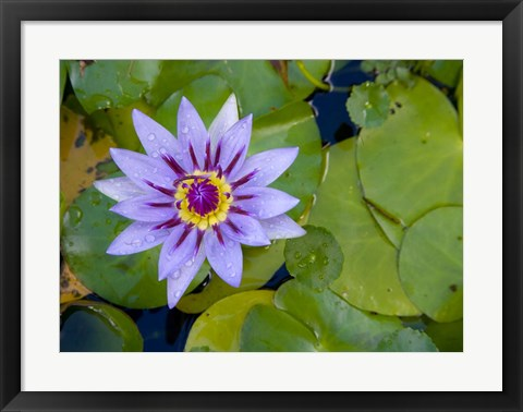 Framed Blue Water Lily, Jardin De Balata, Martinique, French Antilles, West Indies Print