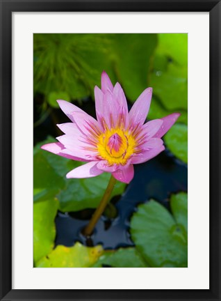 Framed Martinique, West Indies, Water lily flower Print