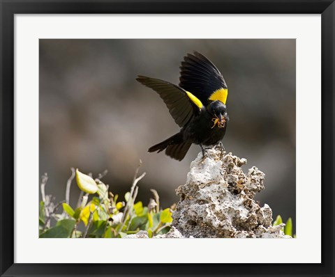 Framed Yellow shouldered blackbird, Mona Island, Puerto Rico Print
