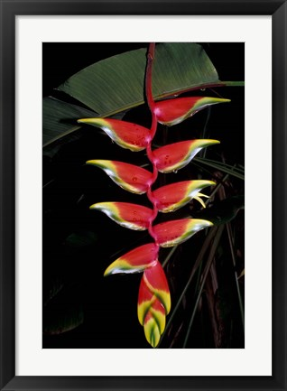 Framed Tropical Flower on Culebra Island, Puerto Rico Print