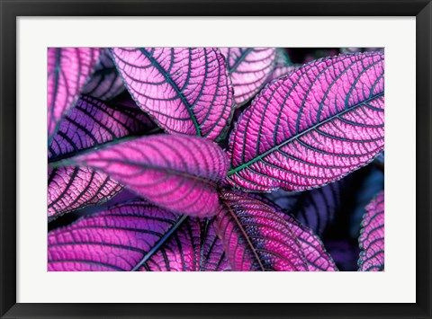 Framed Fond Dous Estate, Persian Shield, St Lucia, Caribbean Print