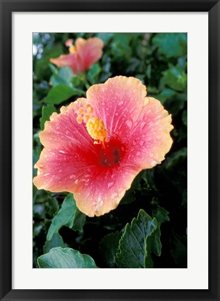 Framed Hibiscus Flower in Bloom, St Kitts, Caribbean Print