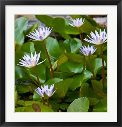 Framed Pygmy Water Lily flower Print