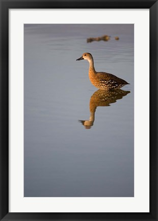 Framed Cayman Islands, West Indian Whistling Duck Print