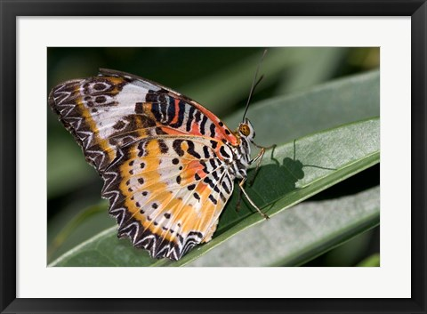 Framed Lacewing Butterfly at the Butterfly Farm, St Martin, Caribbean Print