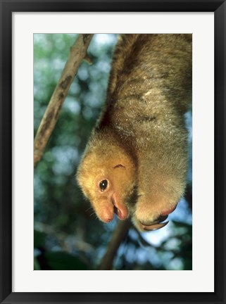 Framed Close up of Silky Pygmy Anteater wildlife, Mangrove, Trinidad Print