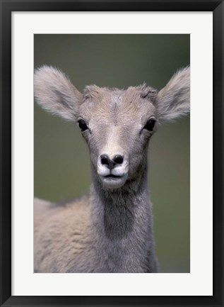 Framed Bighorn Sheep, Banff National Park, Alberta, Canada Print