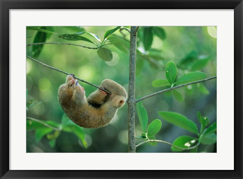 Framed Silky Anteater wildlife, West Indies, Trinidad Print