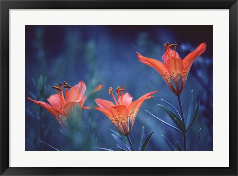Framed Alberta, Jasper National Park Wood lily flowers Print