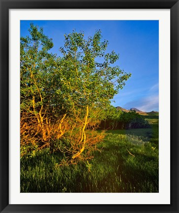 Framed Quaking Aspen Grove along the Rocky Mountain Front in Waterton Lakes National Park, Alberta, Canada Print