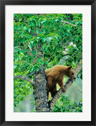 Framed Black bear, aspen tree, Waterton Lakes NP, Alberta Print