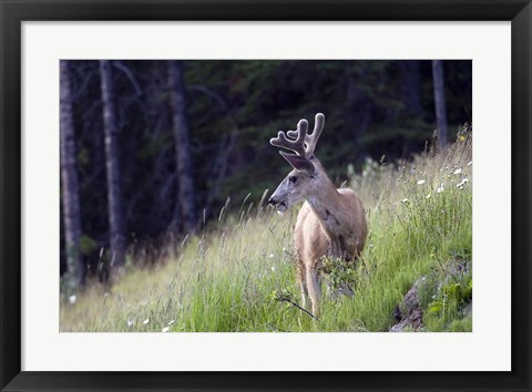 Framed Young deer in Banff National Park, Alberta, Canada Print