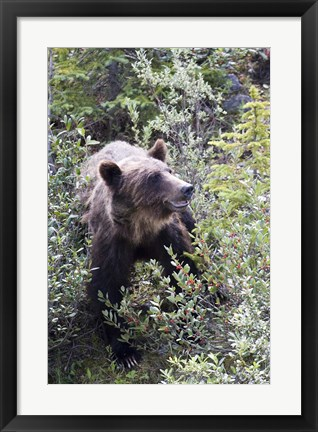 Framed Grizzly bear in Kootenay National Park, Canada Print