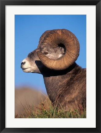 Framed Bighorn Sheep wildlife, Jasper National Park, Alberta Print