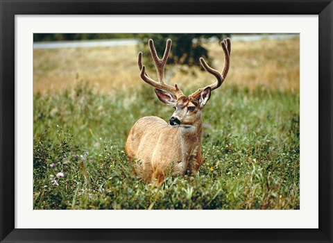 Framed Grazing mule deer buck, Waterton Lakes NP, Canada Print