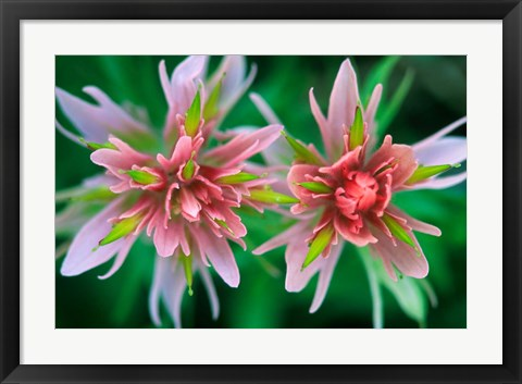 Framed Indian Paintbrush, Banff National Park, Alberta, Canada Print