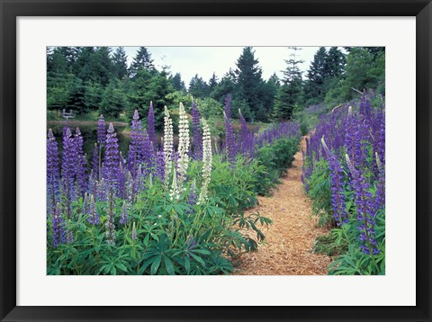 Framed Lupines by a Pond, Kitty Coleman Woodland Gardens, Comox Valley, Vancouver Island, British Columbia Print