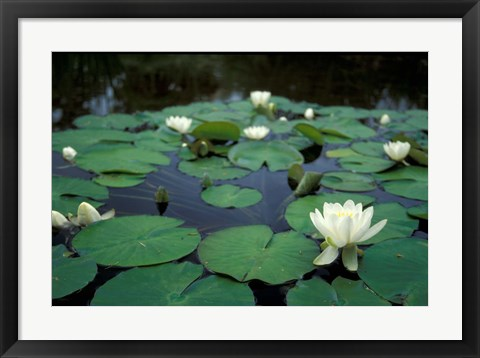 Framed White Water-Lily in Bloom, Kitty Coleman Woodland Gardens, Comox Valley, Vancouver Island, British Columbia Print