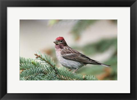 Framed Close-up of Male Cassin's Finch in Pine Tree, British Columbia, Canada Print
