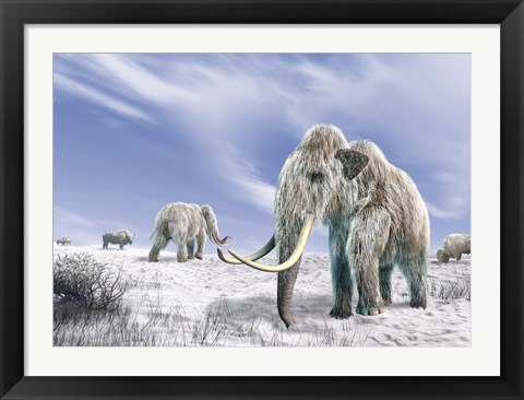 Framed Two Woolly Mammoths in a Snow Covered Field with a Few Bison Print