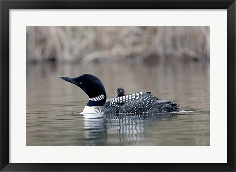 Framed British Columbia Common Loon with chick Print