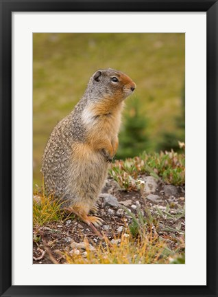 Framed British Columbia, Banff NP, Columbian ground squirrel Print