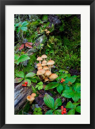 Framed British Columbia, Bowron Lakes Park Bunchberry, Forest Print