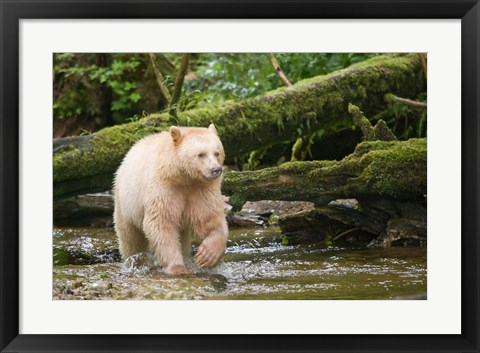 Framed British Columbia, Princess Royal Island, Spirit Bear Print
