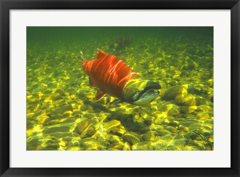 Framed British Columbia, Adams River Sockeye salmon migrating Print