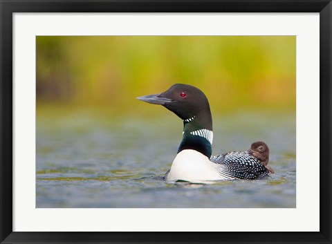Framed British Columbia, Common Loon, breeding plumage Print