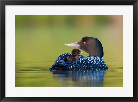 Framed British Columbia, Common Loons Print