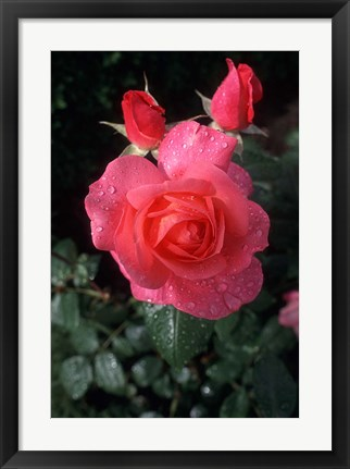 Framed English Rose in Butchart Gardens, Vancouver Island, British Columbia, Canada Print
