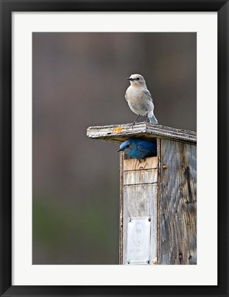 Framed Mountain Bluebirds, British Columbia, Canada Print