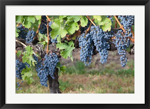 Framed Canada, British Columbia, Osoyoos View of purple grapes in vineyards Print