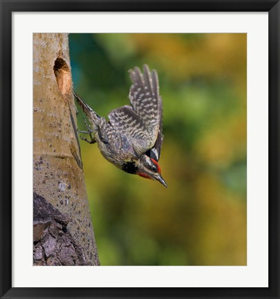 Framed British Columbia, Red-naped Sapsucker, flight, nest Print