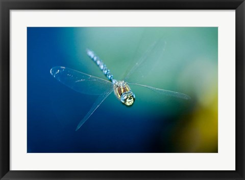 Framed Blue-eyed darner dragonfly, Insect, British Columbia Print