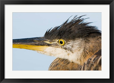 Framed Great blue heron, Boundary Bay, British Columbia Print