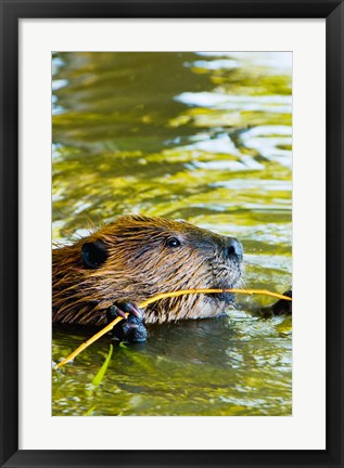 Framed Head of American Beaver, Stanley Park, British Columbia Print